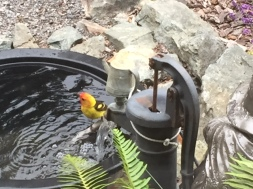 A Western Tanager takes a sip and a dip at the water feature at our home.