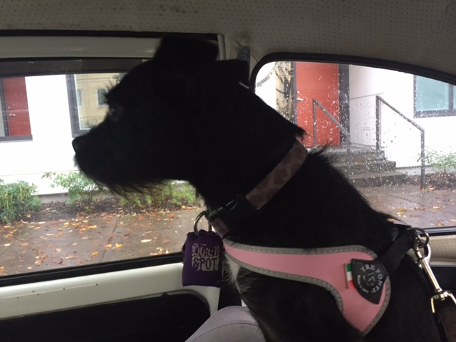 Charlotte, in her spiffy new harness, gets ready for the ride.